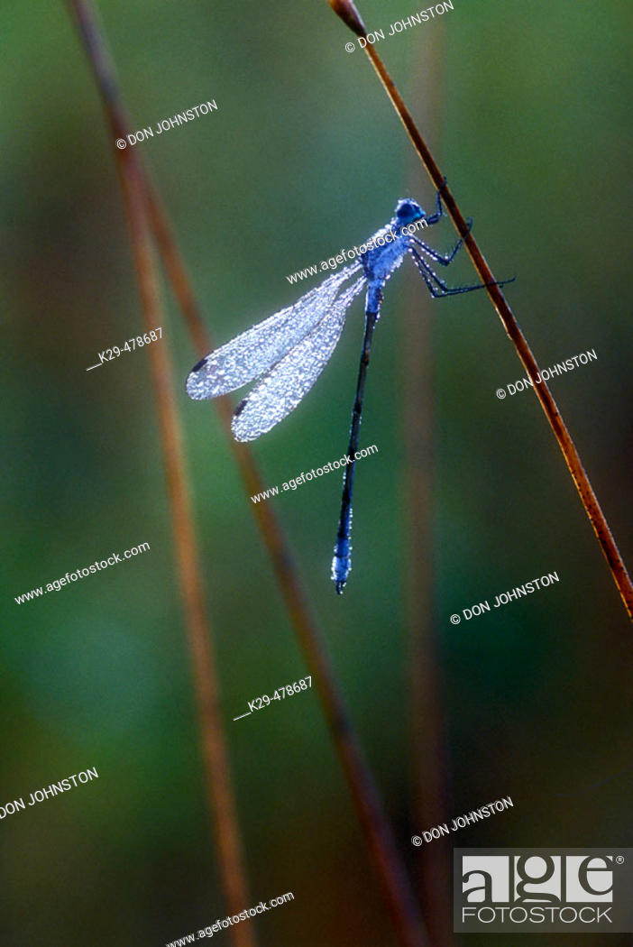 Stock Photo: Dew-covered damselfly. Sudbury. Ontario. Canada.