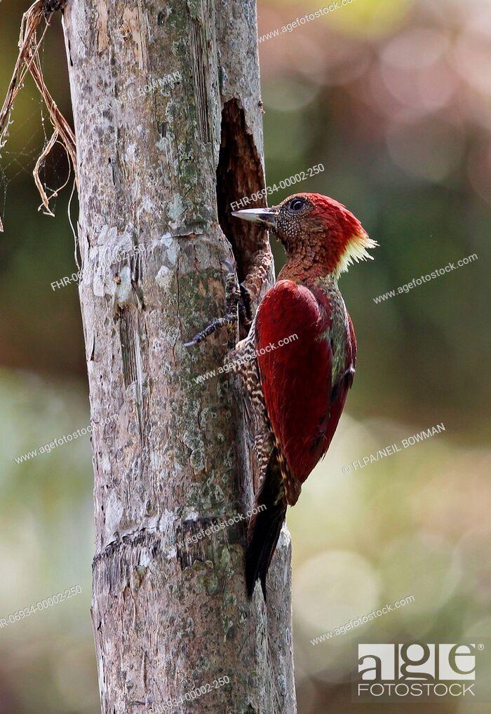 Stock Photo: Banded Woodpecker (Picus miniaceus malaccensis) adult female, at nesthole in tree trunk, Taman Negara N.P., Titiwangsa Mountains, Malay Peninsula, Malaysia.
