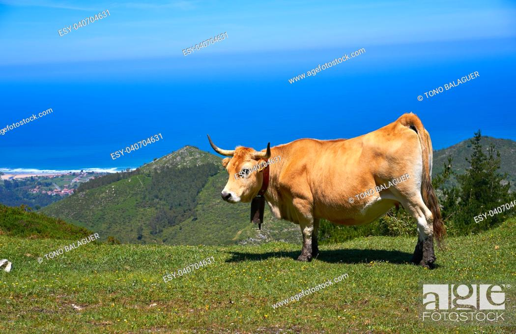 Stock Photo: Asturias cow in high mountain and sea in background of Spain.