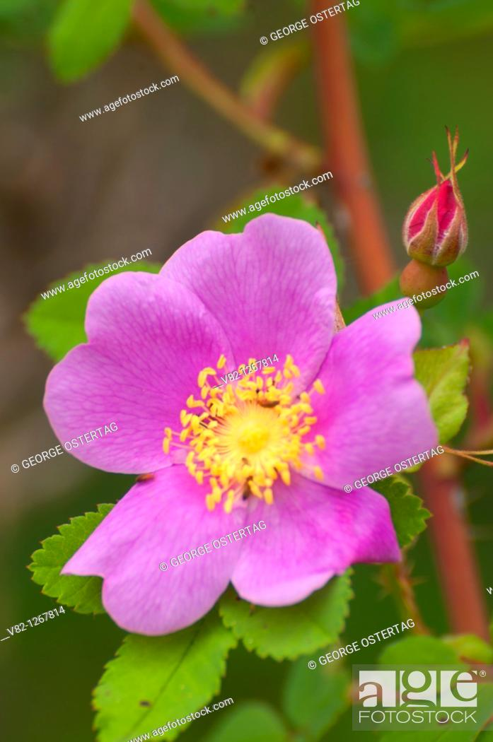 Stock Photo: Wild rose at Ray Farm, Wells Gray Provincial Park, British Columbia, Canada.
