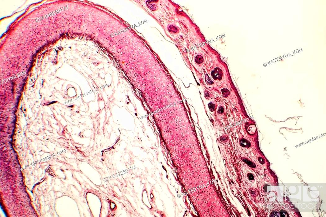 Elastic Cartilage Of Human Outer Ear Light Micrograph Stock