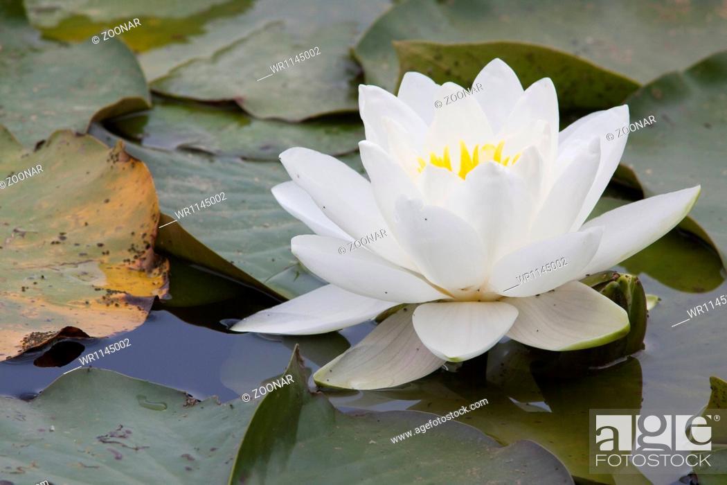 Stock Photo: Nymphaea alba, White Waterlily.