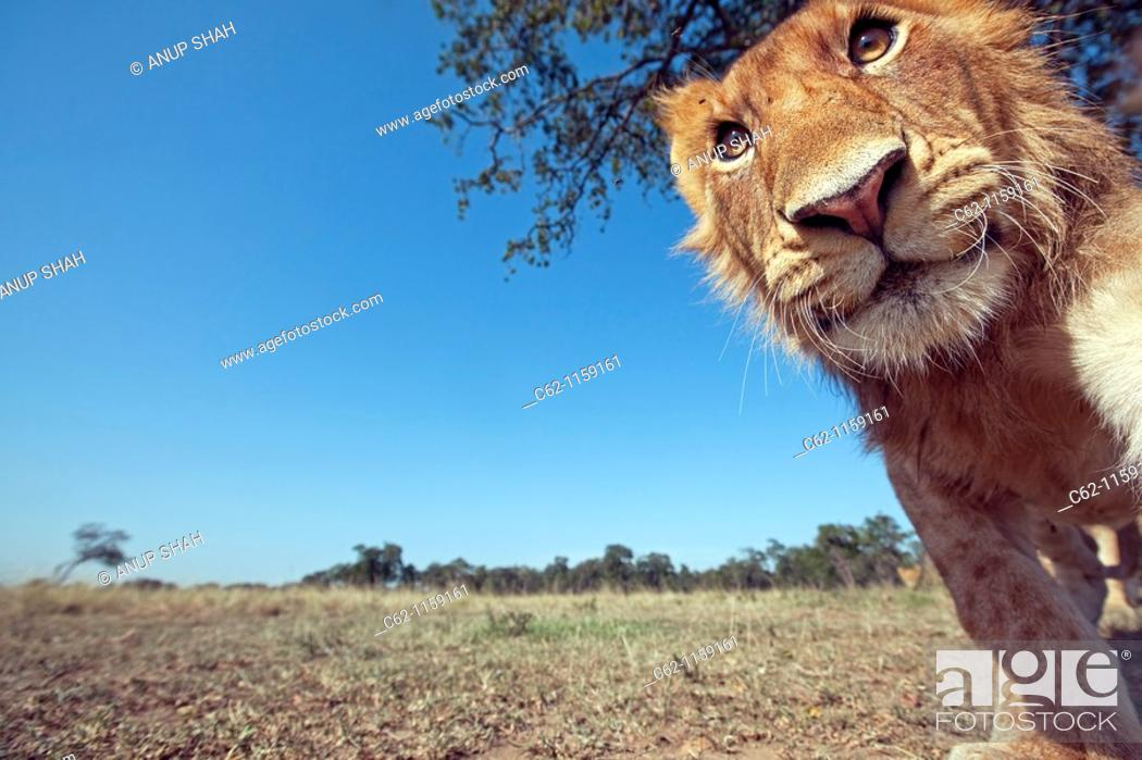 Stock Photo: Lion (Panthera leo) adolescent male approaching with curiosity -wide angle perspective-, Maasai Mara National Reserve, Kenya.