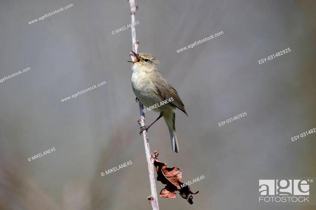 Imagen: Chiffchaff, Phylloscopus collybita, single bird on branch, Warwickshire, April 2015.