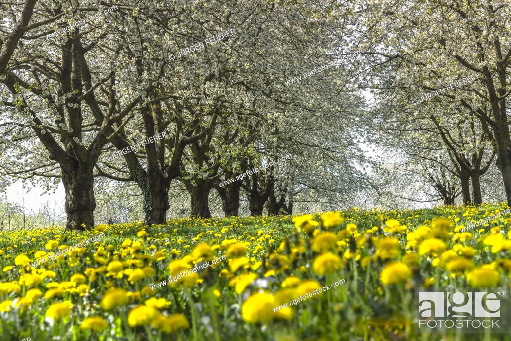 Stock Photo: Spring meadow with blooming orchard trees in the region Ortenau, South Germany, zone on the foothill of the Black Forest, famous for cherry blooming.