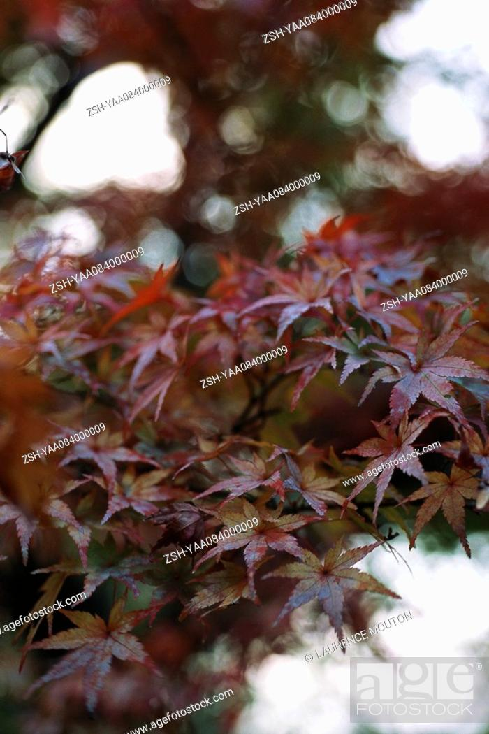 Stock Photo: Leaves of Japanese Maple.