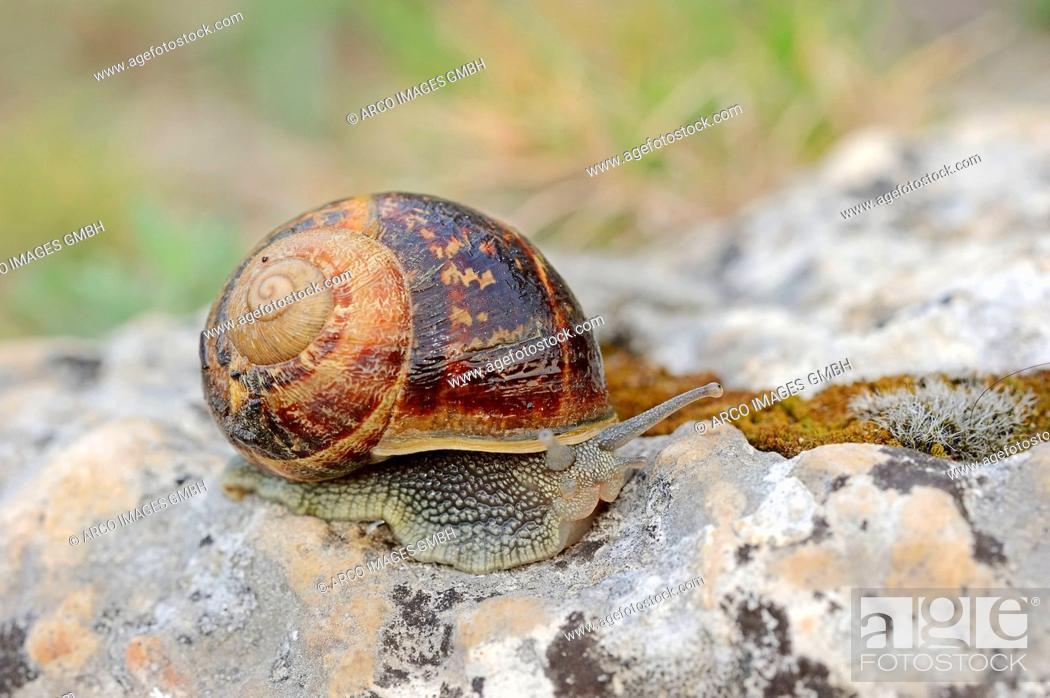 Stock Photo: Brown Garden Snail, Provence, Southern France / Cornu aspersum, Cryptomphalus aspersus, Helix aspersa.