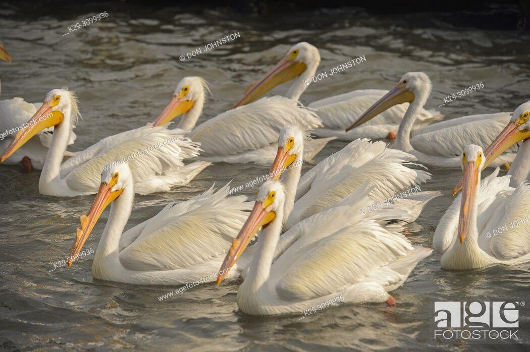 Stock Photo: American white pelican (Pelecanus erythrorhynchos), Goose Island State Park, Texas, USA.