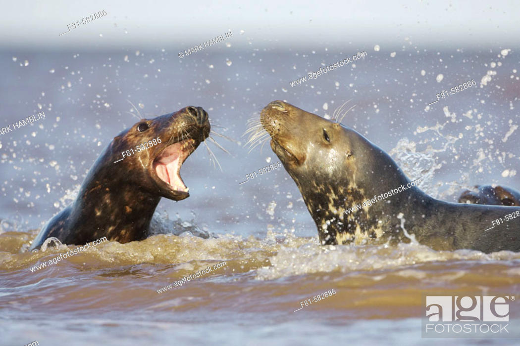 Stock Photo: Grey Seal (Halichoerus grypus) female calling aggressively towards male (bull) in sea. North Lincolnshire, UK. November 2005.