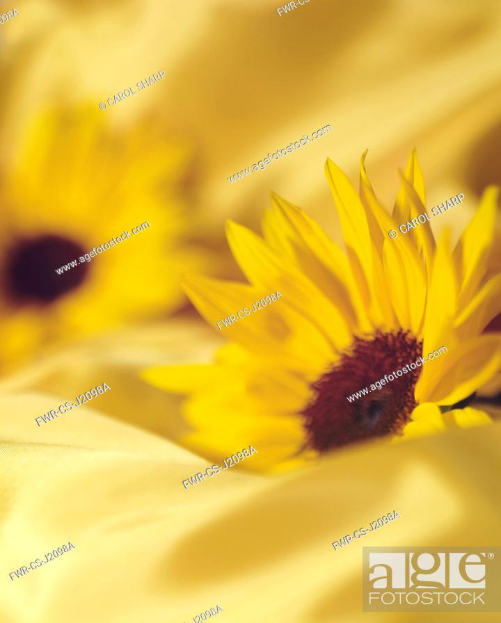 Imagen: Sunflower, Helianthus, Side view of two flowerheads sunk into matching yellow fabric.