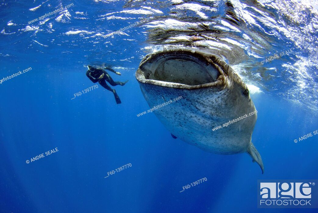 Stock Photo: Whale shark, Rhincodon typus, Quintana-Roo, Mexico, Caribbean Sea.