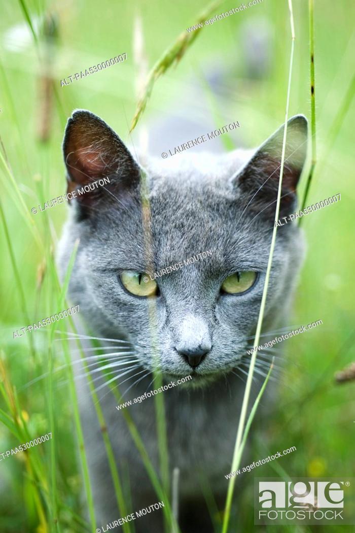 Stock Photo: Cat walking through grass, staring at camera.