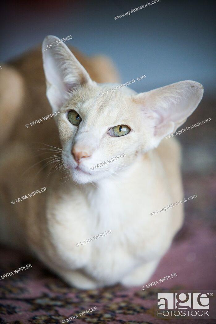 Imagen: Elegant siamese looking cat posing indoor.