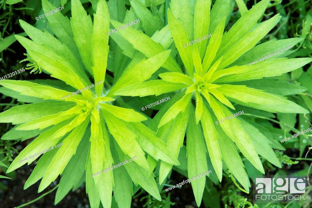 Stock Photo: Erigeron canadensis.