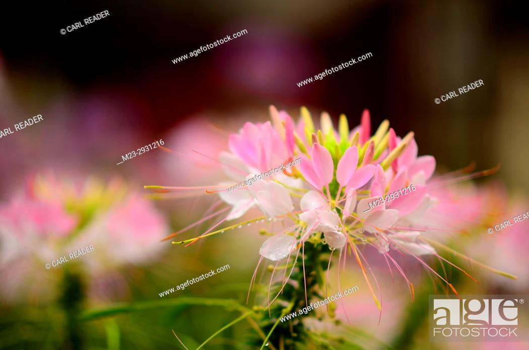Stock Photo: Cleome closeup in soft focus, Pennsylvania, USA.
