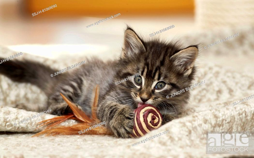 Stock Photo: Norwegian Forest Cat. Kitten with toy lying on a rug. Germany.