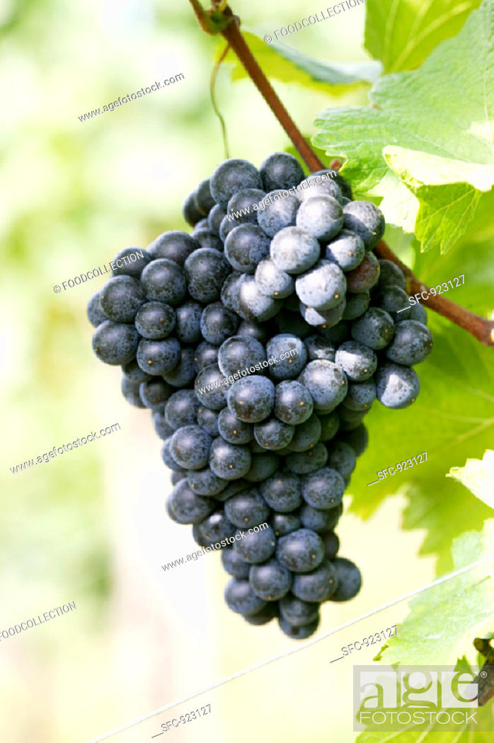 Stock Photo: Red wine grapes on the vine.