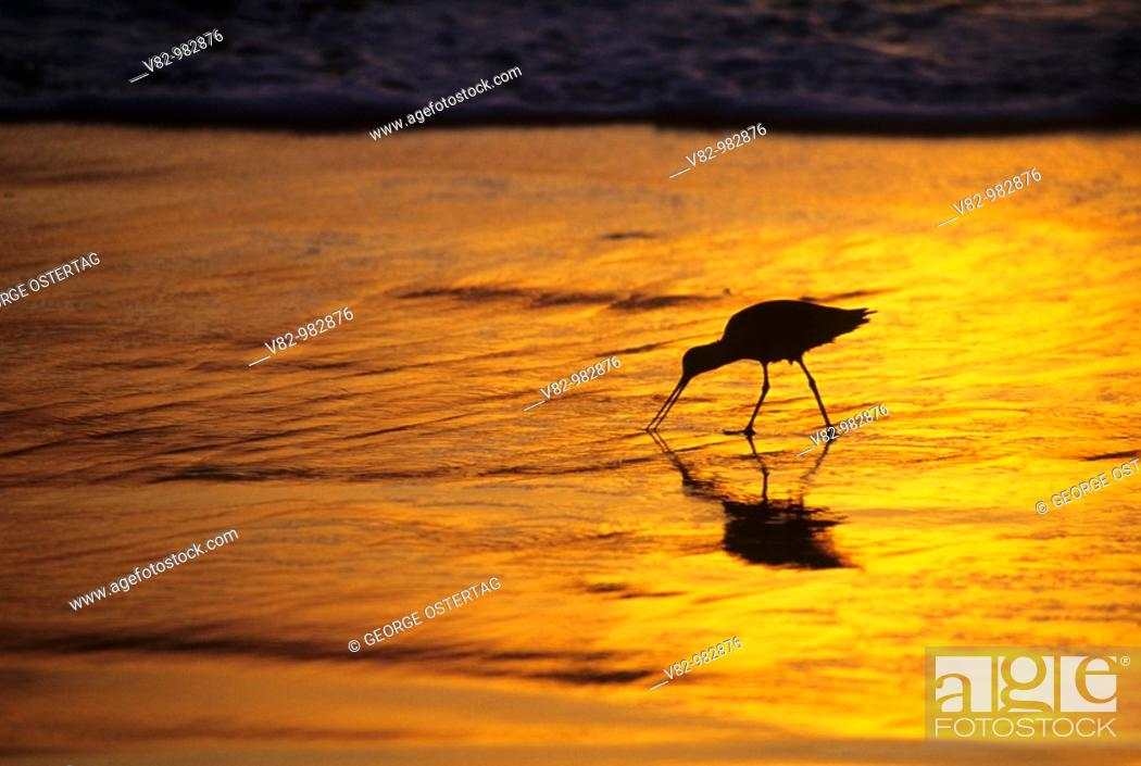 Stock Photo: CA713H Shorebird in surf zone at sunset, Imperial Beach, CA.