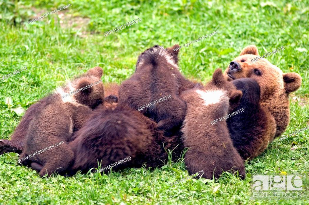 Stock Photo: European Brown Bear (Ursus arctos) - Cubs - Milking.