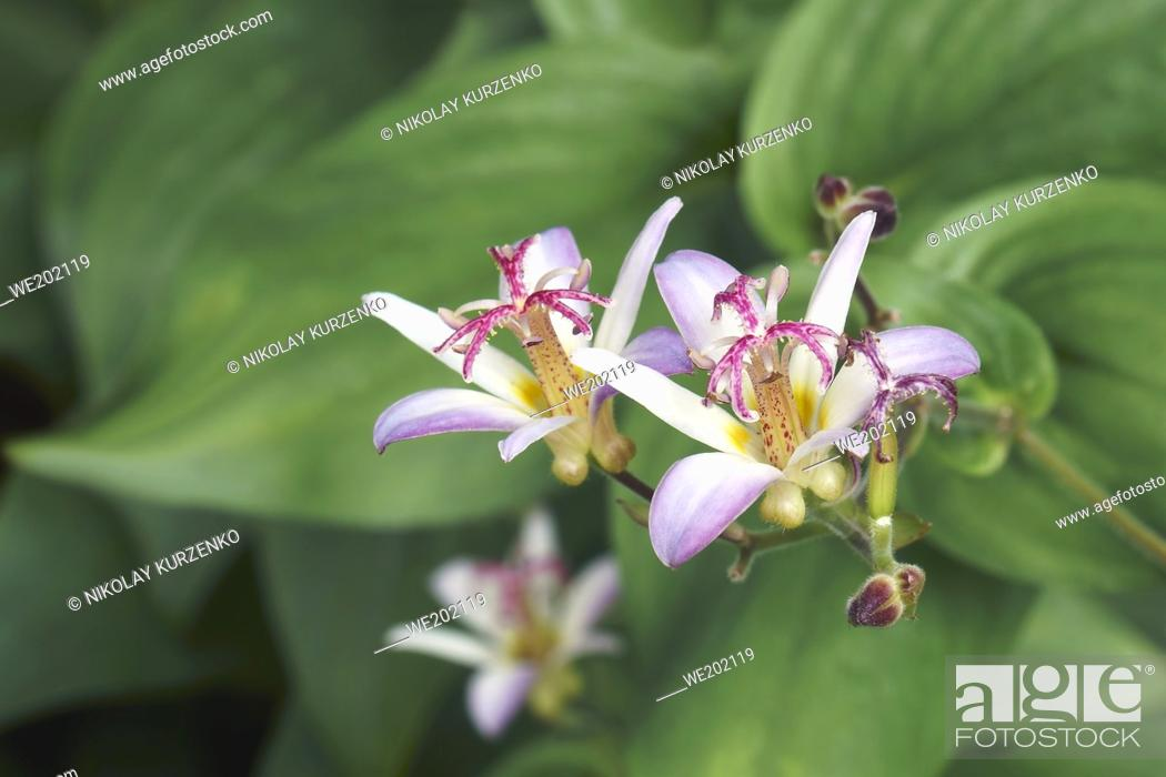 Imagen: Taiwanese toad lily (Tricyrtis formosana).