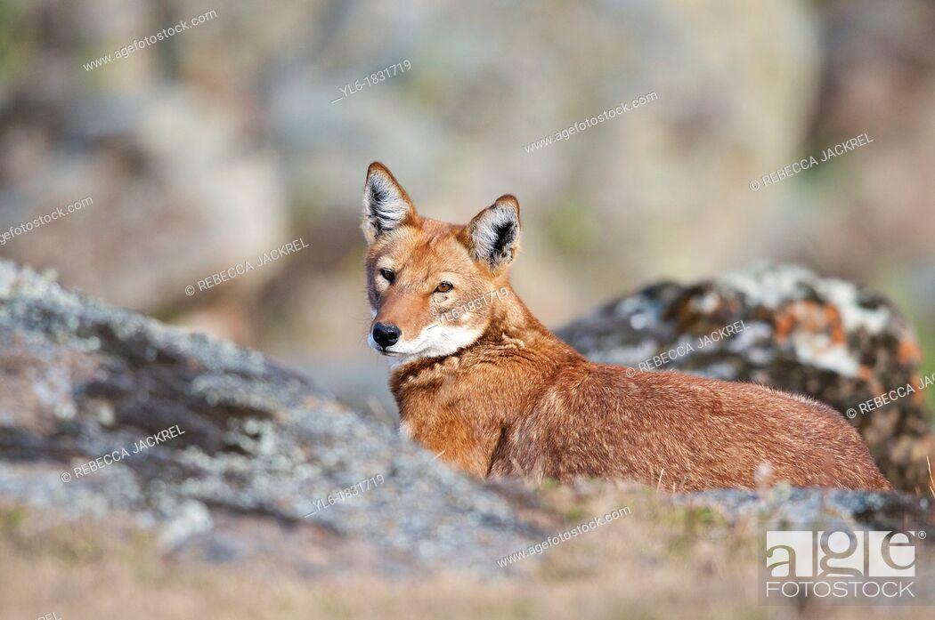 Stock Photo: Ethiopian wolf resting.