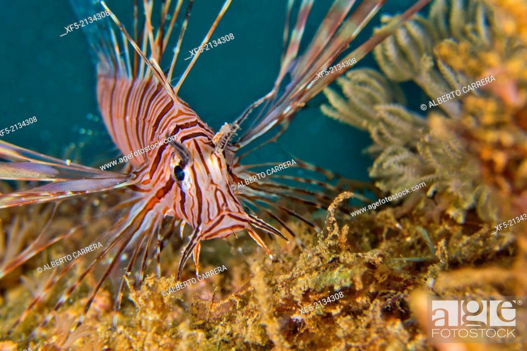 Stock Photo: Common Lionfish, Pterois volitans, Bunaken National Marine Park, Bunaken, North Sulawesi, Indonesia, Asia.