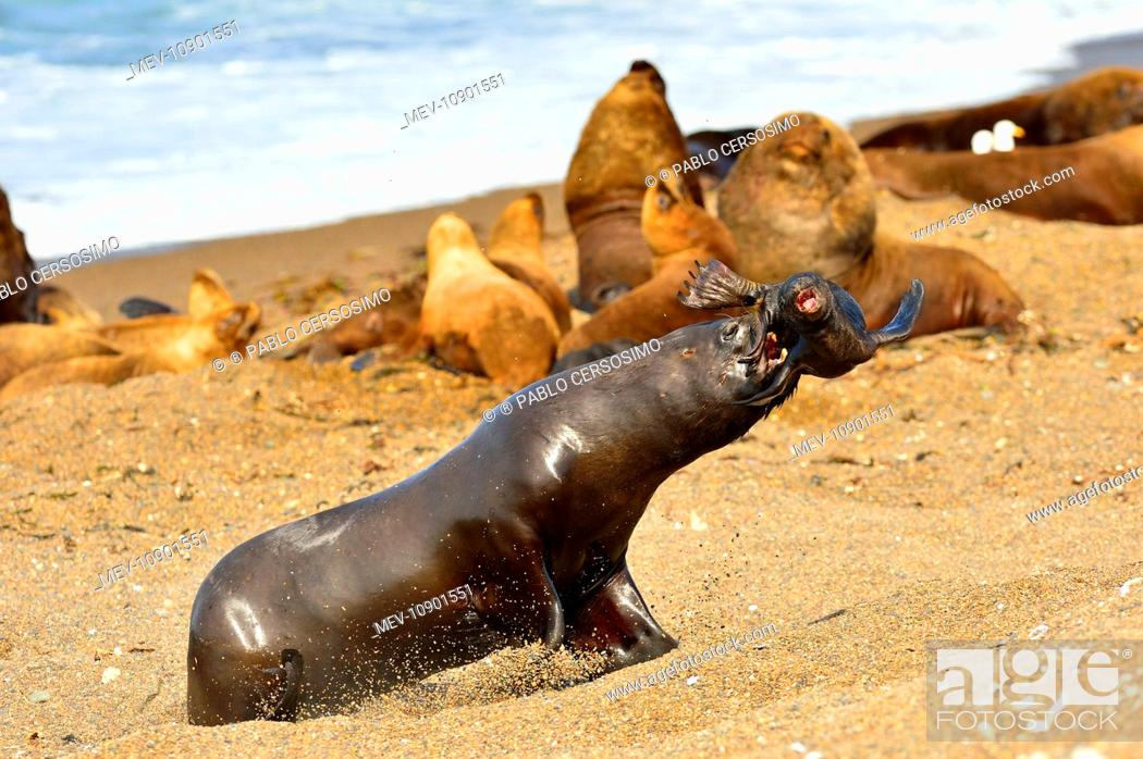 Imagen: Southern / Patagonian / South American Sea Lion (Otaria flavescens). sub-adult male kidnaping a baby pup - series 3 of 4 - Peninsula Valdes, Patagonia.