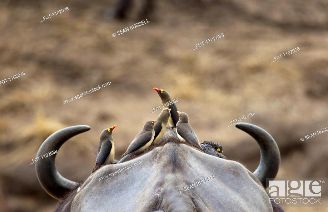 Stock Photo: Five Yellow-billed Oxpeckers perching on head of Cape Buffalo.