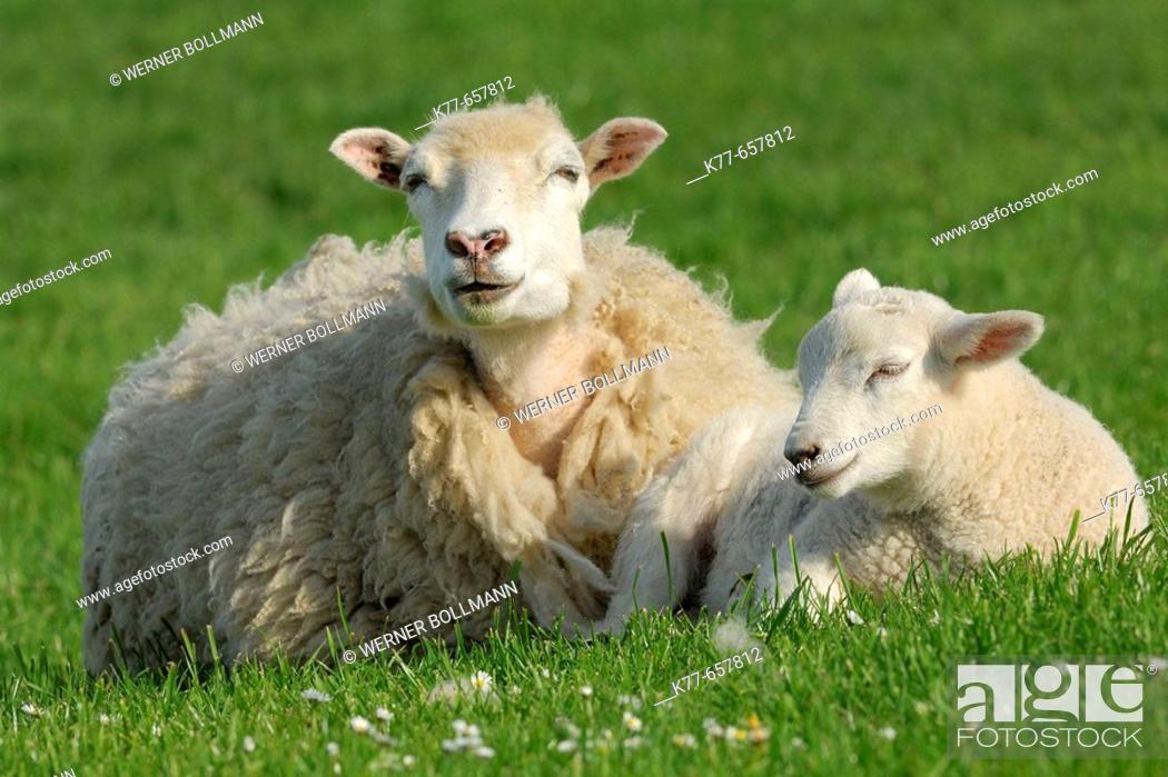 Stock Photo: Domestic Sheep (Ovis aries), lamb. Mainland, Orkney Islands, Scotland.