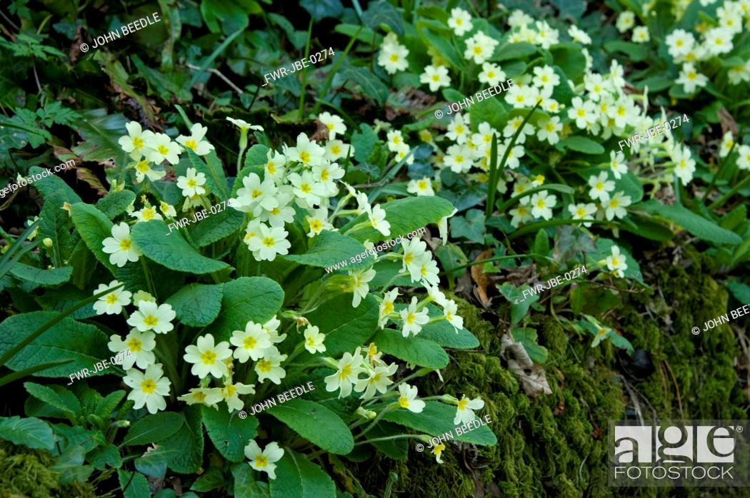 Stock Photo: Primula vulgaris, Primrose, Yellow subject.