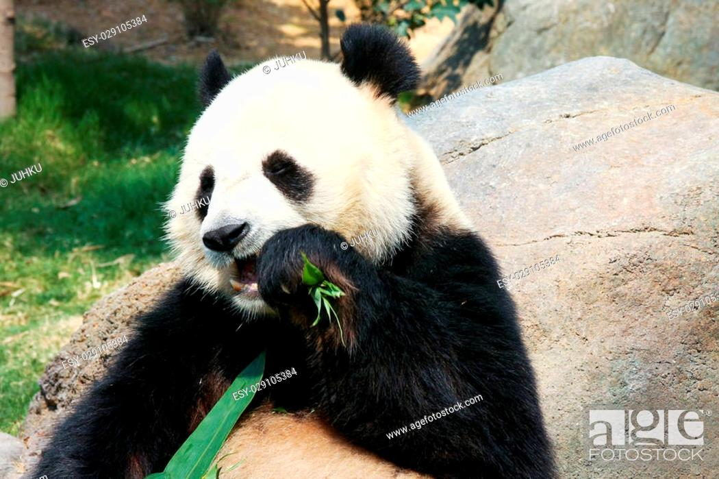 Stock Photo: Giant panda eating bamboo.
