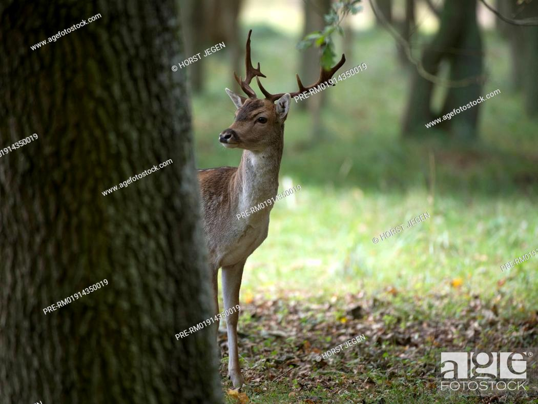 Imagen: Fallow deer in forest, Dama dama, Germany, Europe / Damhirsch, Dama dama, Deutschland, Europa.