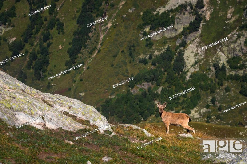Photo de stock: Horned goat male alpine Capra ibex on the high rocks stone in Dombay mountains. North Caucasus. Russia.