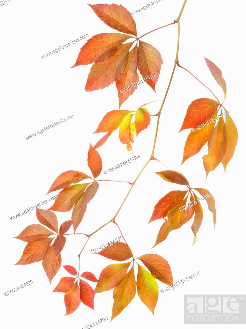 Stock Photo: Autumn branch of wild grapes isolated on white background.