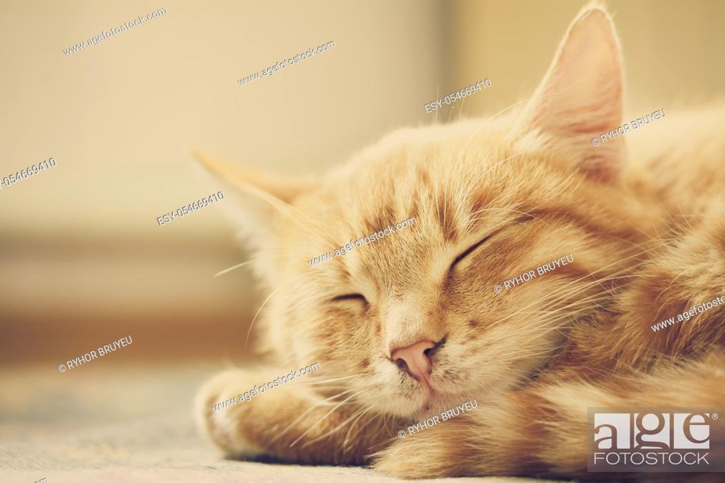 Stock Photo: Peaceful Orange Tabby Male Kitten Curled Up Sleeping.