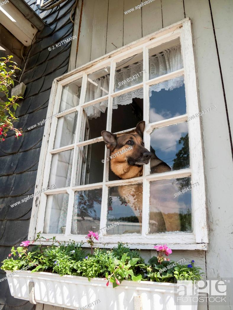 Stock Photo: German Shepherd Dog (Canis lupus f. familiaris), looking out a window, Germany.