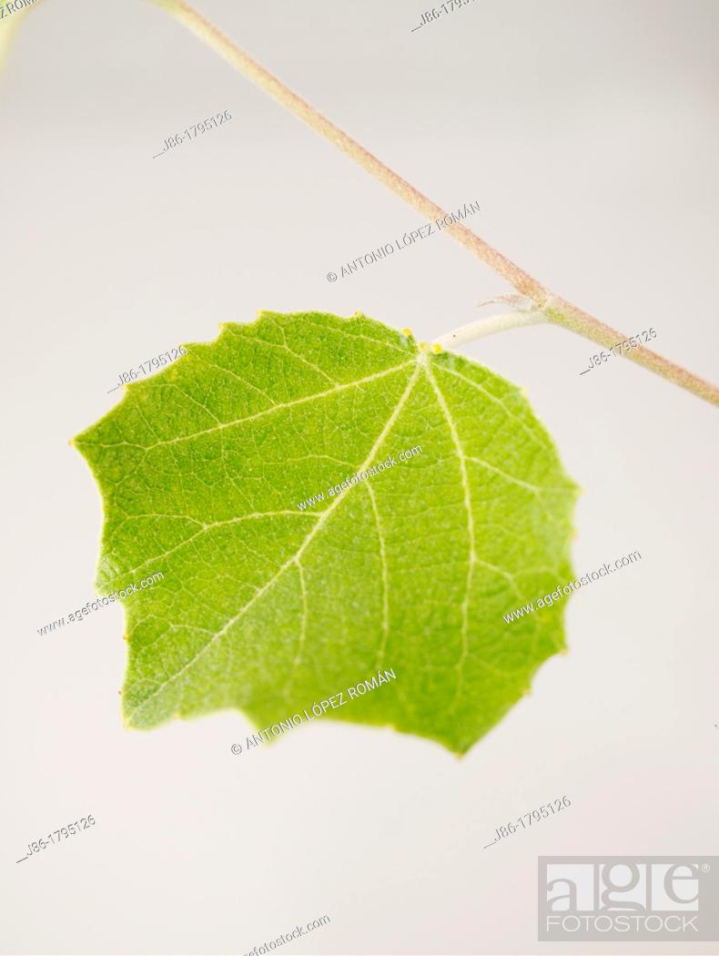 Stock Photo: White Poplar leaf Populus alba, upper side.