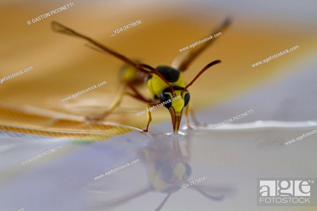 Stock Photo: Social Wasps (Family vespidae), drinking water, Mabuasehube, Kgalagadi Transfrontier Park, Kalahari desert, South Africa.