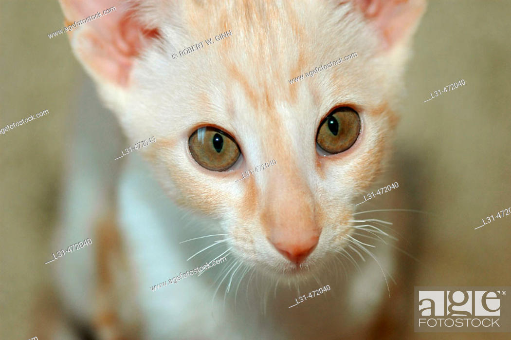 Stock Photo: Red adn White 16 week old Cornish Rex by Oriental Shorthair cross.
