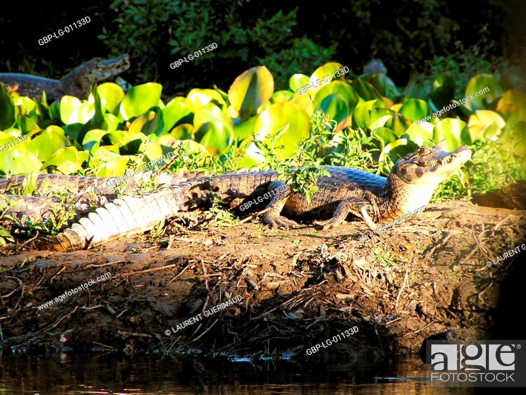 Stock Photo: Alligator, Nature, Pantanal, Mato Grosso do Sul, Brazil.