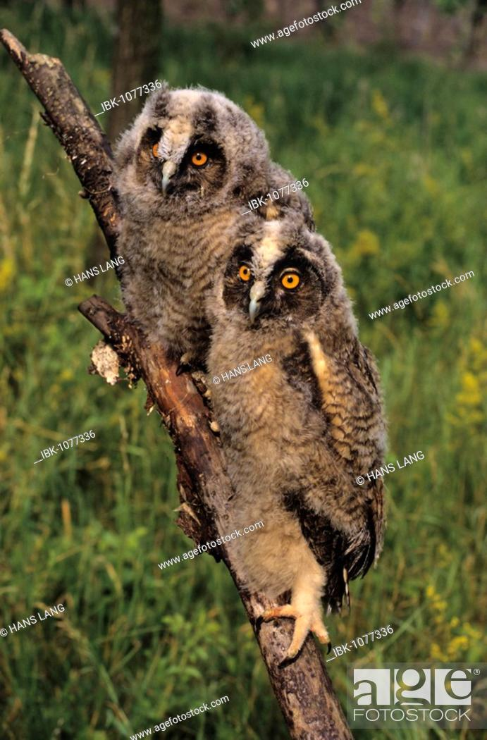 Stock Photo: Long-eared Owls (Asio otus), two almost fully fledged young.