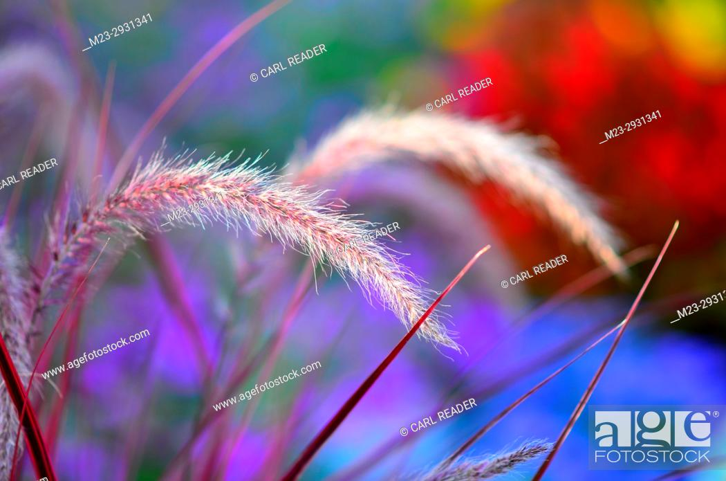 Stock Photo: Purple ornamental grass with a colorful background in soft-focus, Pennsylvania, USA.