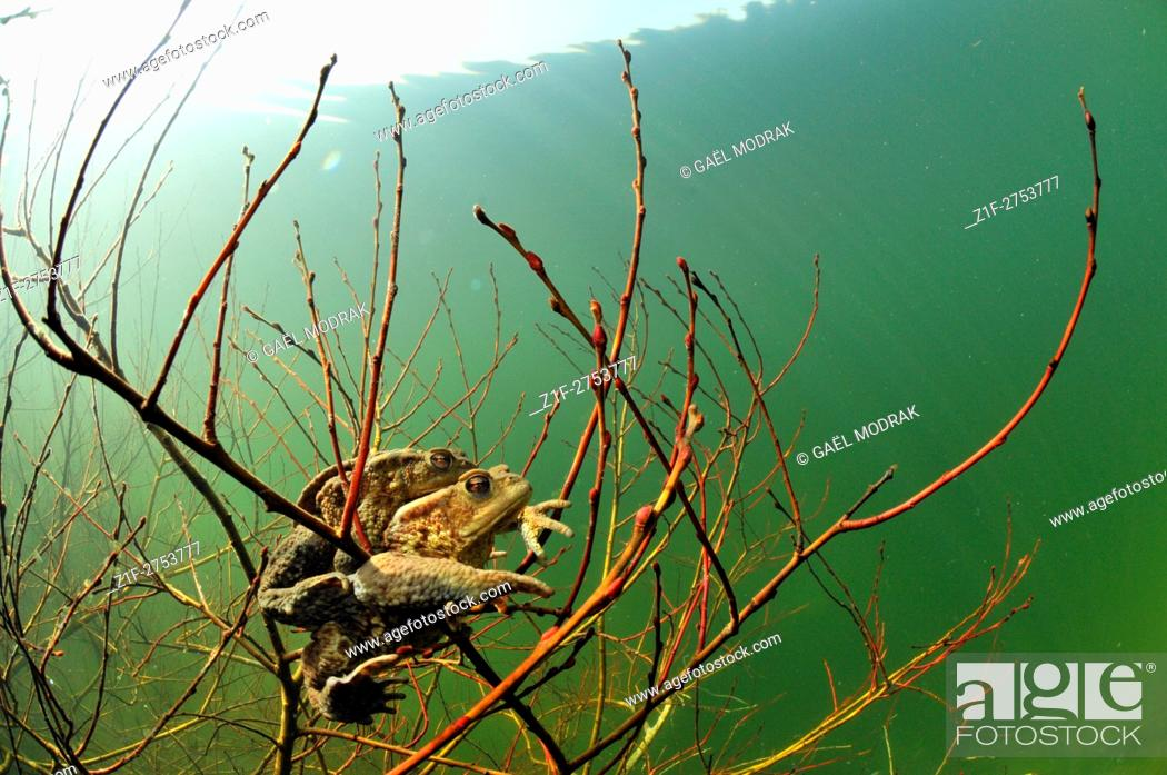 Stock Photo: European toads mating in a French lake. Bufo bufo.