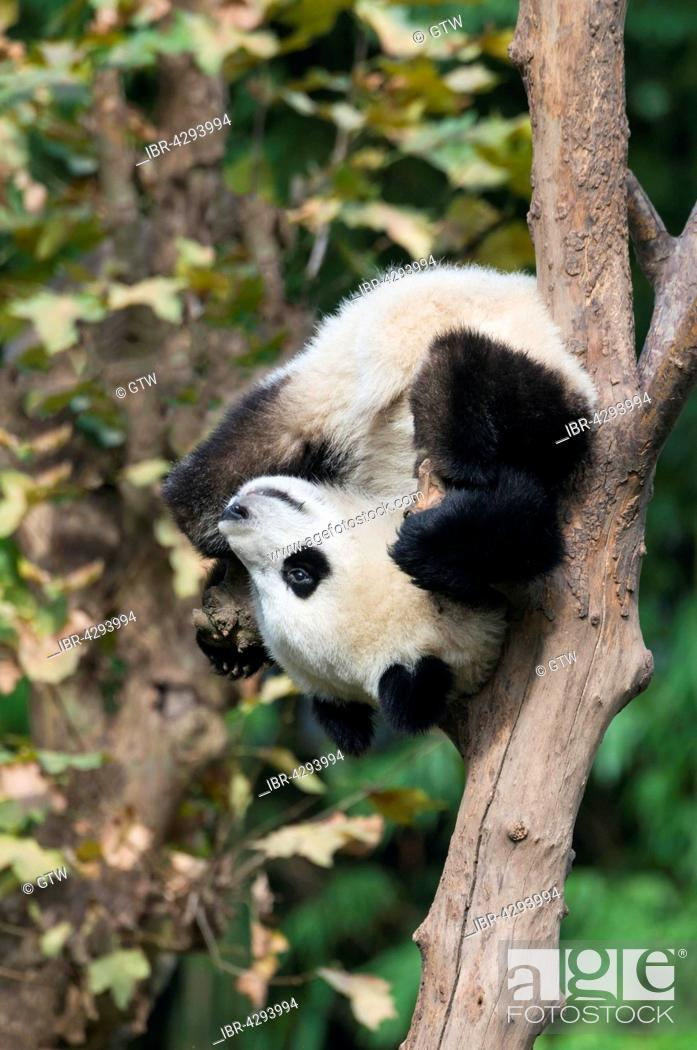 Stock Photo: Giant Panda (Ailuropoda melanoleuca), two years, climbing tree, China Conservation and Research Centre for the Giant Panda, Chengdu, Sichuan, China.