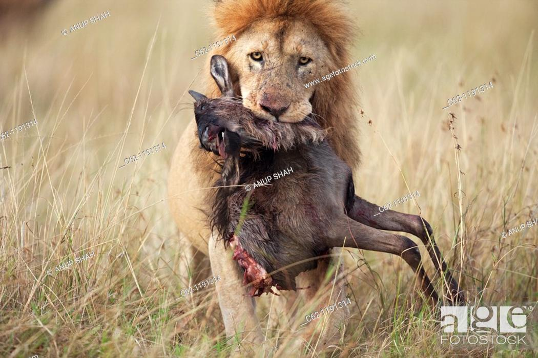 Stock Photo: Lion (Panthera leo) male carrying carcass of a dead wildebeest (Connochaetes taurinus) in its mouth, Maasai Mara National Reserve, Kenya.