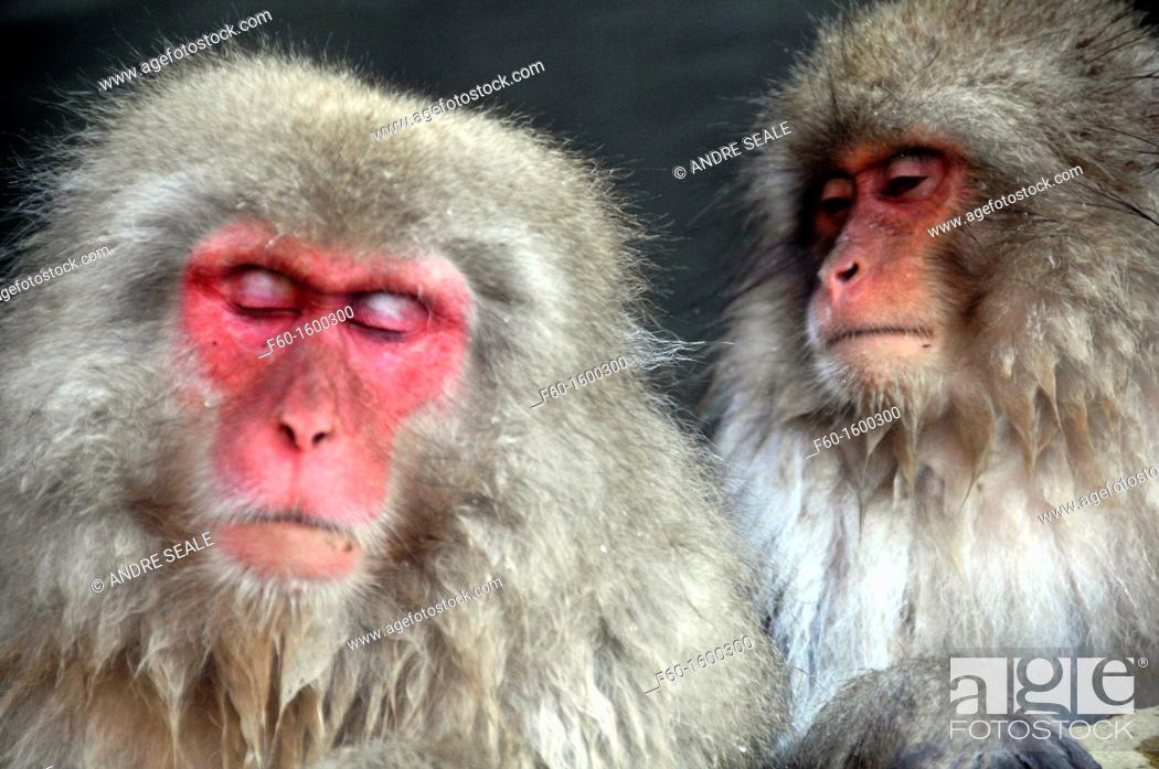 Stock Photo: Japanese macaque, Macaca fuscata, Jigokudani Monkey Park, Joshinetsu Kogen National Park Yamanouchi, Shimotakai, Nagano, Japan.