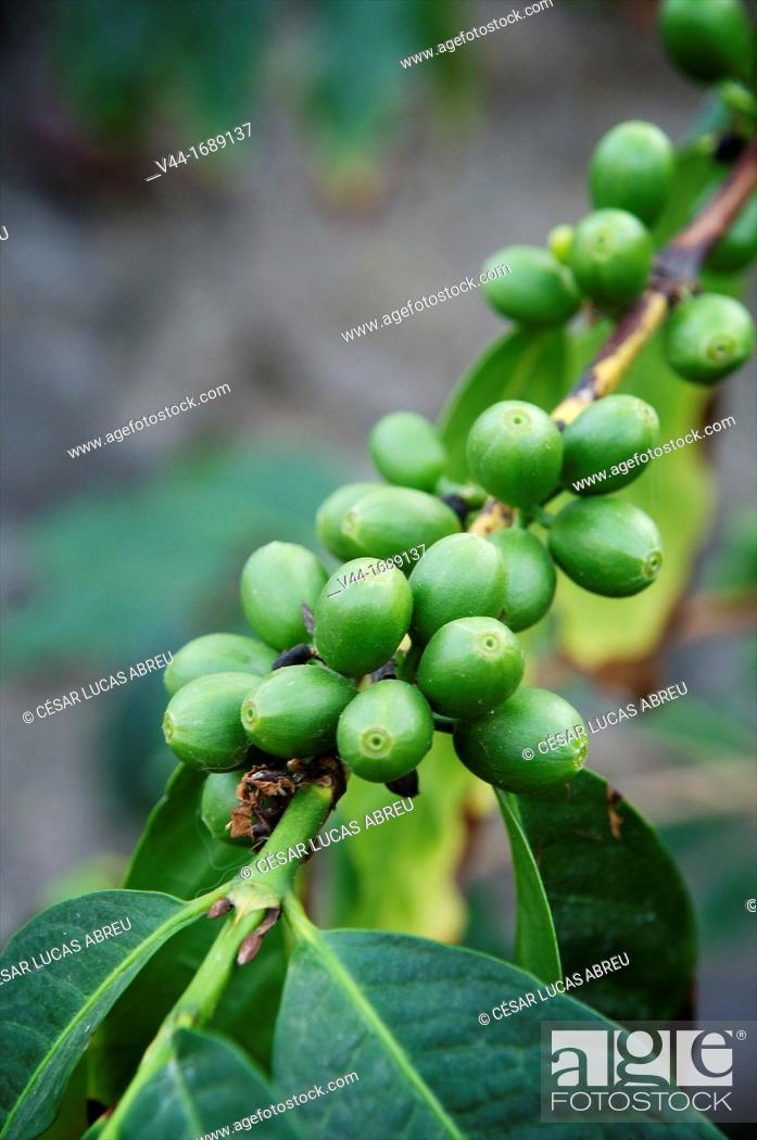 Stock Photo: Coffee beans, Finca de las Lajas, Agaete, Gran Canaria, Canary Island, Spain.