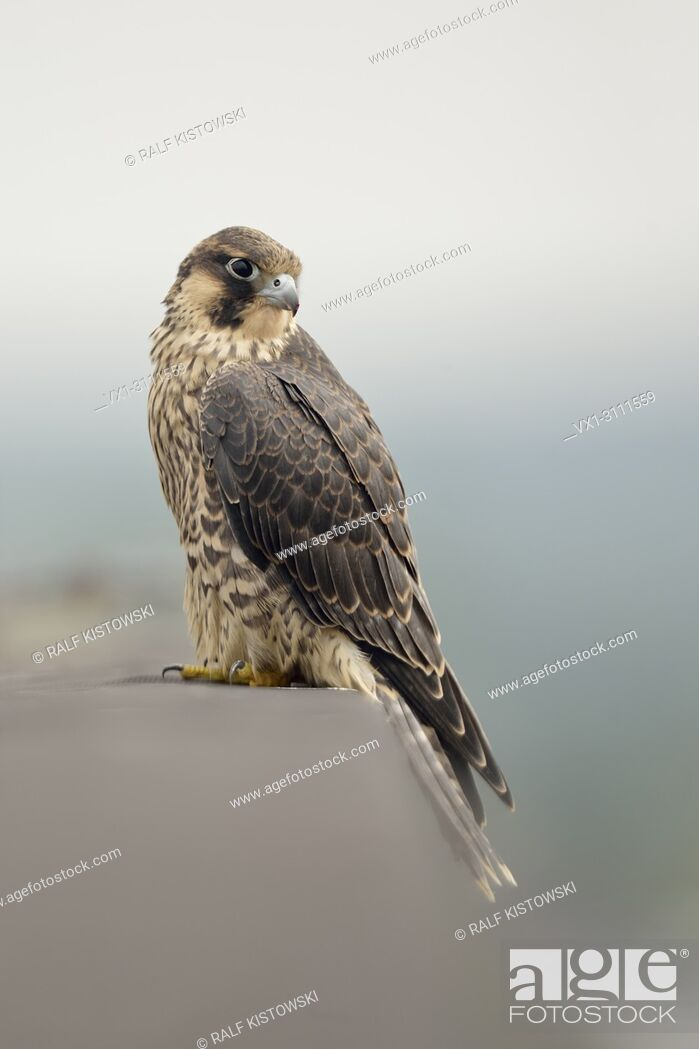 Stock Photo: Duck Hawk / Wanderfalke ( Falco peregrinus ), young bird of prey, sits at the edge of a roof on top of an industrial building, wildlife. .