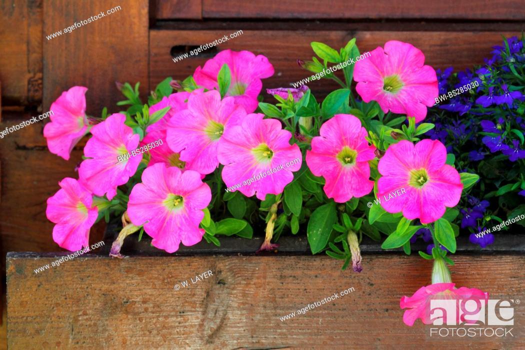 Stock Photo: petunia (Petunia pendula, Calibrachoa spec.), in a flower box.