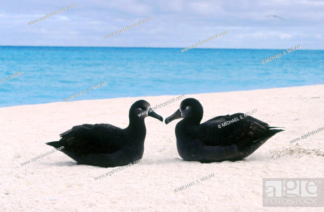 Stock Photo: Black-footed Albatross (Diomedea nigripes). Midway Islands, Hawaii, USA.